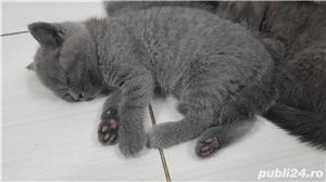 British shorthair supersimpatici, superiubibili - imagine 6