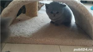 British shorthair supersimpatici, superiubibili - imagine 7