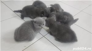 British shorthair supersimpatici, superiubibili - imagine 3