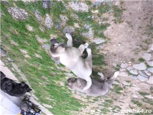 Vând puiuț de ciobănesc caucazian  - imagine 4
