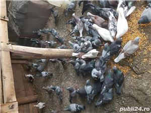 Porumbei straini - imagine 3