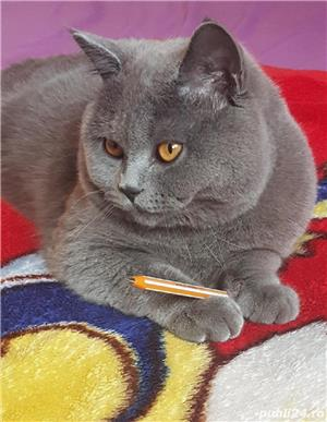 British shorthair blue - imagine 6