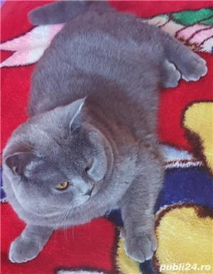British shorthair blue - imagine 3