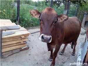 Vand vaca  - imagine 8