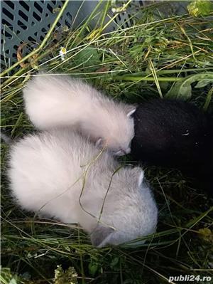 Donez trei pui de pisica siameza - imagine 2
