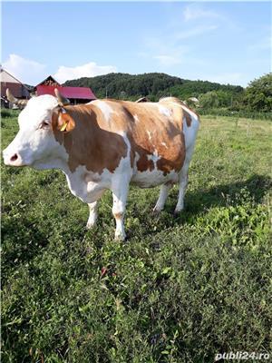 Vaca baltata românească  - imagine 1