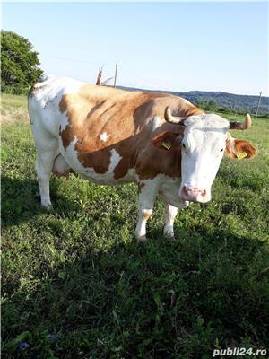 Vaca baltata românească  - imagine 3