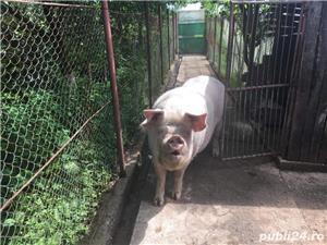 Vand Porc ! - imagine 2
