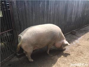 Vand Porc ! - imagine 5