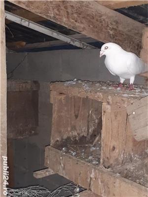 Porumbei albi de vanzare pentru nunti - imagine 3