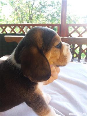 Vand catei Beagle superbi cu pedigree A - imagine 4