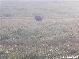 Vand 4 Vaci gestante si 4 vieti lângă ele - imagine 4