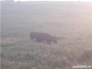Vand 4 Vaci gestante si 4 vieti lângă ele - imagine 5