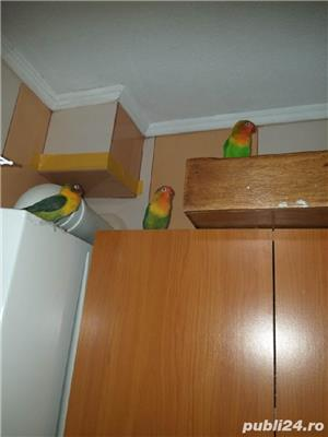 Vând papagali agapornis fischer Baia Mare  - imagine 5