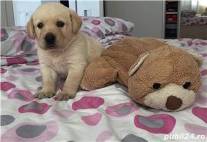 Labrador auriu (puii) - imagine 1