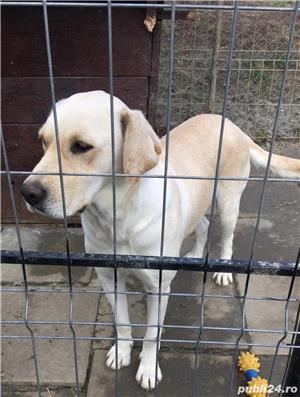Labrador auriu (puii) - imagine 6
