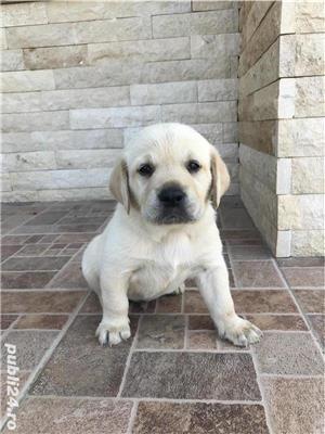 Labrador auriu (puii) - imagine 2