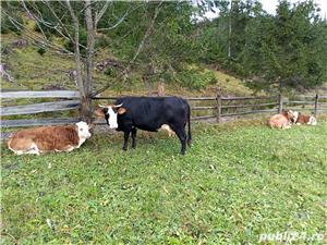 Vaca bruna - imagine 3