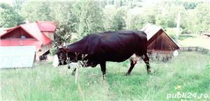 Vaca bruna - imagine 4