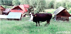 Vaca bruna - imagine 5