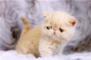 pisicuta persana exotic shorthair crem(poze reale) - imagine 3
