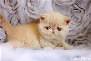 pisicuta persana exotic shorthair crem(poze reale) - imagine 1