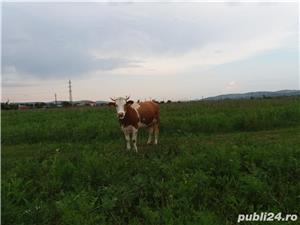 Vand vacă, văcuță gestantă - imagine 2