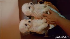 Căței bisoni mini toy 2 luni vacinati si carnet de sănătate  iubitori cumi jucăuși așteaptă stăpîni  - imagine 3