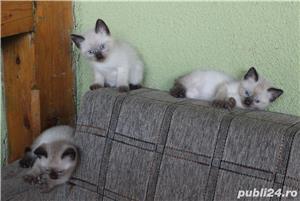 Pisicute birmaneze - imagine 1