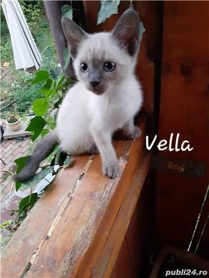 Pisicute gri , albastru de Rusia - imagine 1