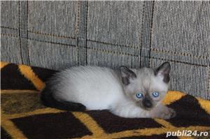 Pisicute birmaneze - imagine 4
