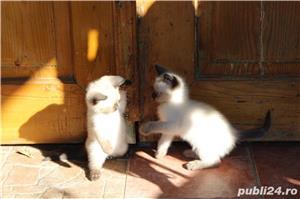 Pisicute birmaneze - imagine 2