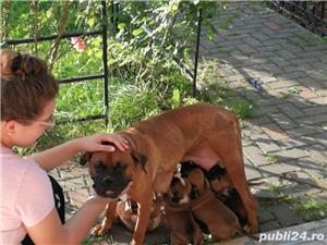 Puiuți căței Boxer German  - imagine 7