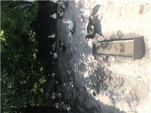 Vând rațe leșești - imagine 1