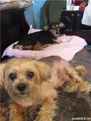 Donez cățelușe iubitorilor de animale urgent!  - imagine 3