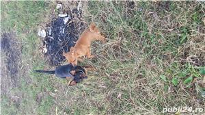 Catei chihuahua 2 luni - imagine 2