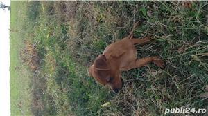 Catei chihuahua 2 luni - imagine 5