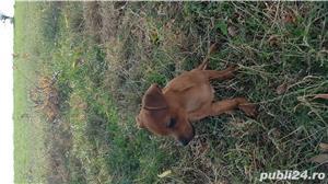 Catei chihuahua 2 luni - imagine 1