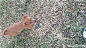 Catei chihuahua 2 luni - imagine 12