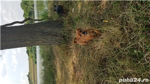 Catei chihuahua 2 luni - imagine 7