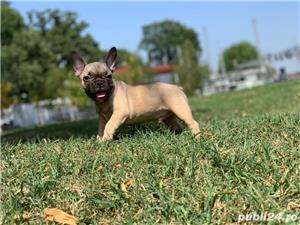 Bulldog francez mascul - imagine 1
