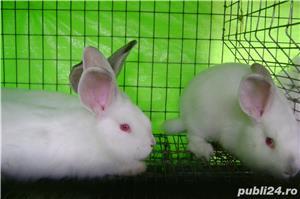 Vand iepuri urias de transilvania - imagine 8