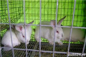 Vand iepuri urias de transilvania - imagine 6