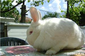 Vand iepuri urias de transilvania - imagine 11
