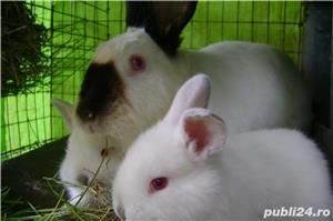 Vand iepuri urias de transilvania - imagine 12