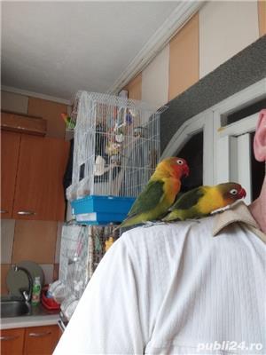 Vând papagali agapornis fischer Baia Mare  - imagine 7