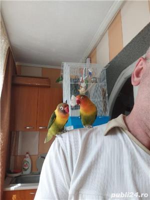 Vând papagali agapornis fischer Baia Mare  - imagine 8