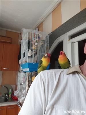 Vând papagali agapornis fischer Baia Mare  - imagine 3