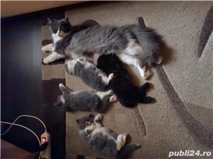 Vand pisici persane - imagine 4