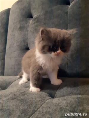 Vand pisici persane - imagine 2